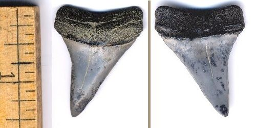 One more 1 3/4 inch (slant height) C. hastalis Extinct White shark tooth.