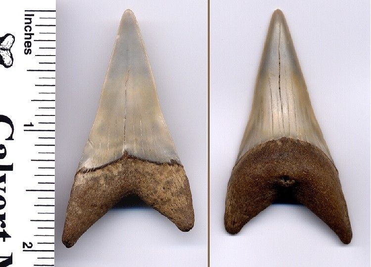 Extinct Giant white Fossil Shark Tooth in Matrix - C. xiphodon - Calvert Cliffs of Maryland