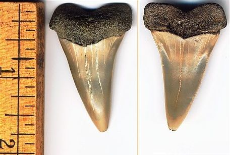 This is a nice robust slightly worn mako. The left is the labial view, the right is the lingual view.<br> We found this one while snorkeling off the cliffs.