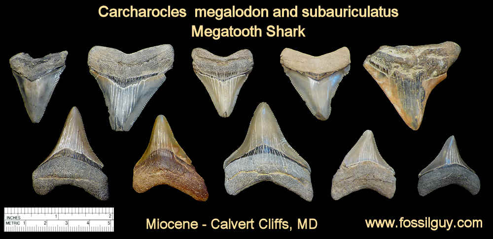 fossil megalodon shark teeth - calvert cliffs, maryland