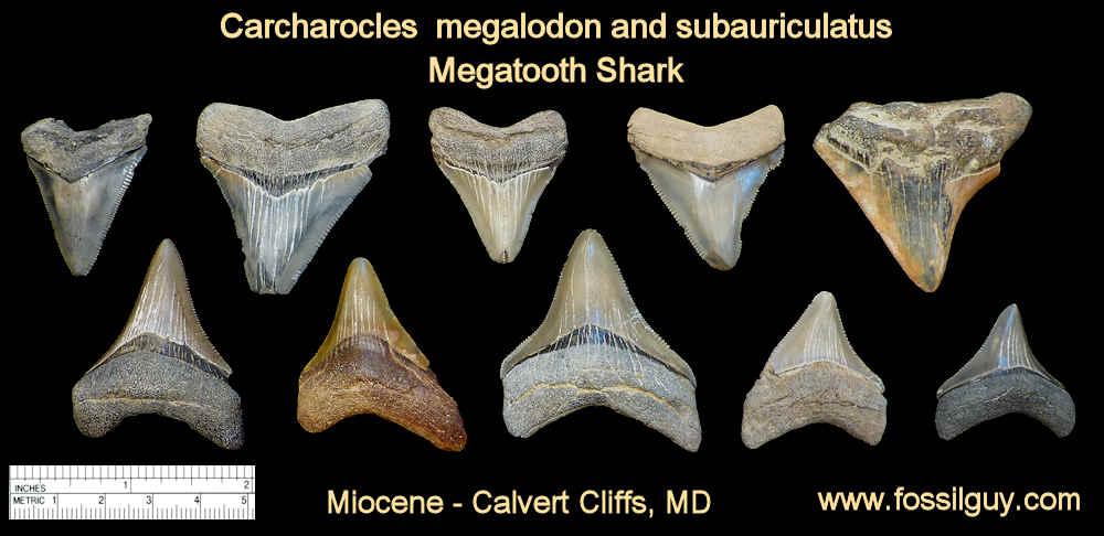 Fossil Shark Tooth Identification for Calvert Cliffs of Maryland: Fossilguy.com