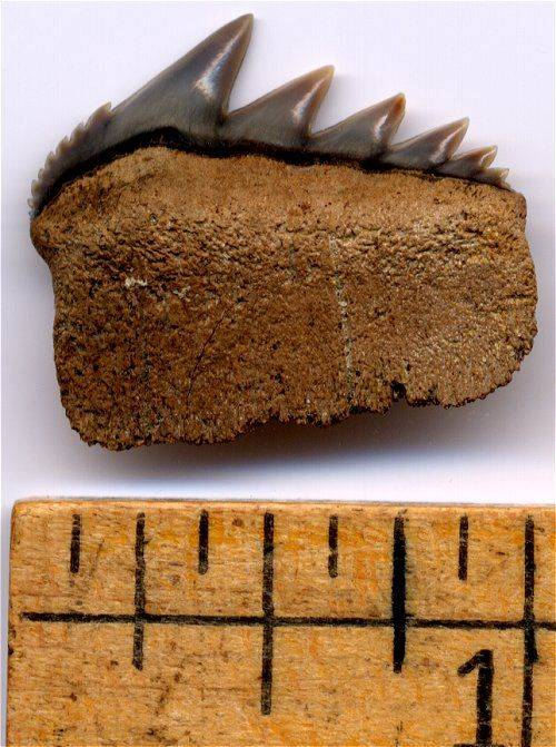 A complete Bluntnose sevengill cow shark tooth fossil from Maryland