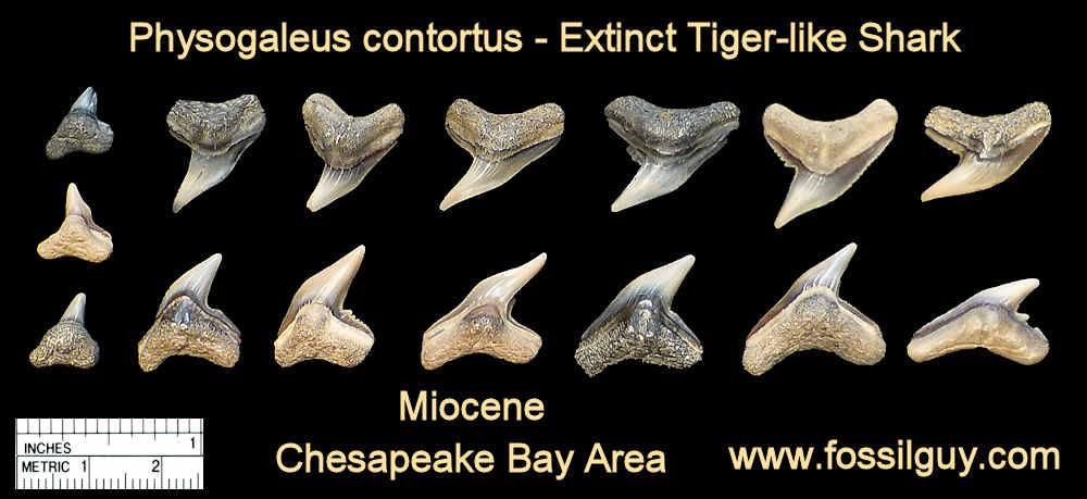 fossil physogaleus contortus shark teeth - calvert cliffs, maryland