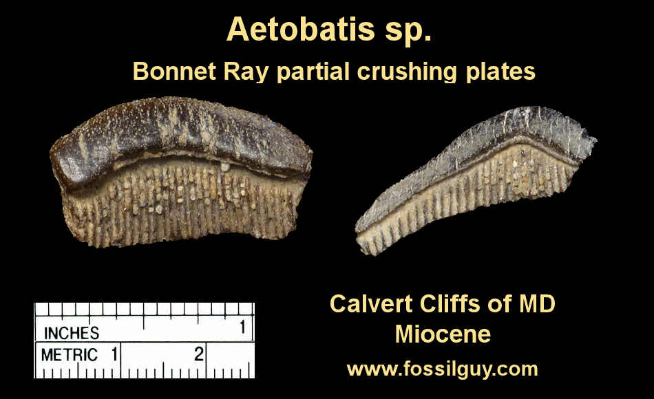 Bonnet ray Ray Fossil Crushing Plate