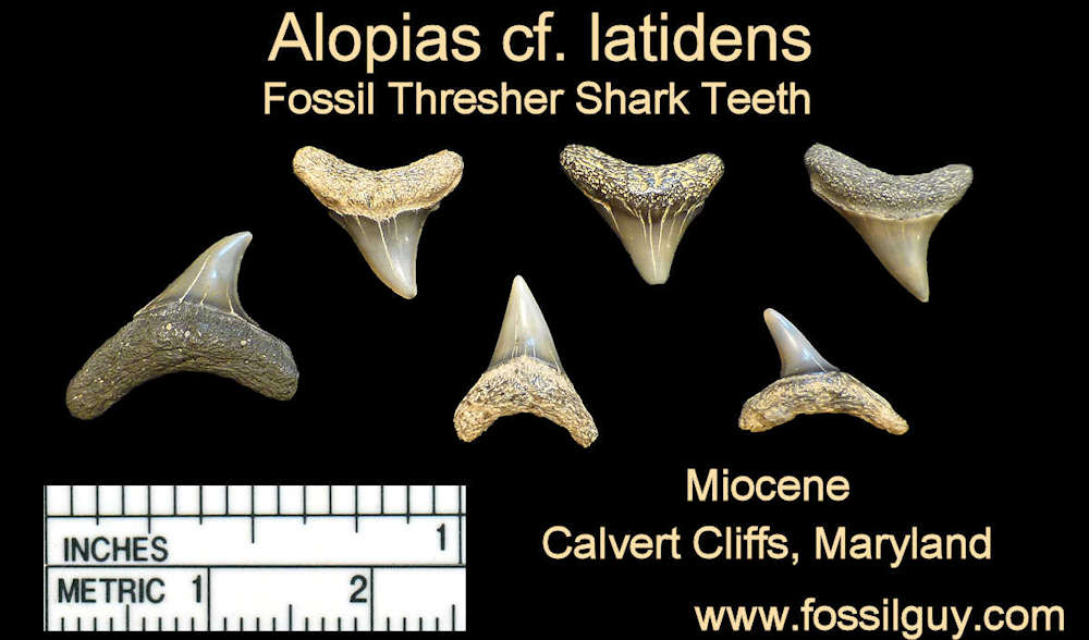 fossil alopias shark teeth - calvert cliffs, maryland