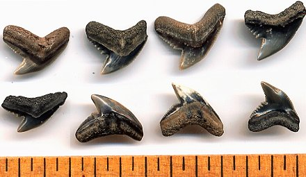 Fossil Extinct Tiger Shark Teeth