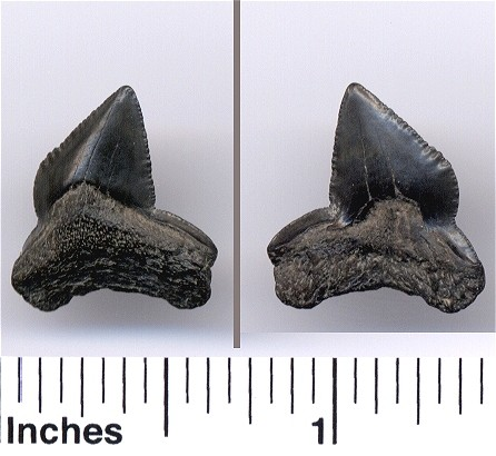 fossil crow shark tooth