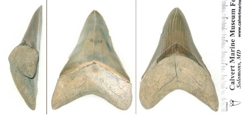 This is the 4 7/8 inch slant height lower megalodon fossil shark tooth.