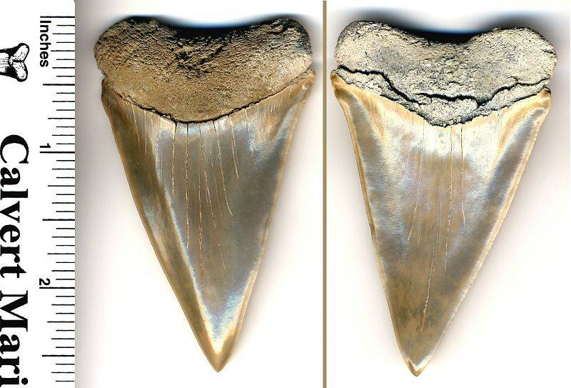 Here is a PERFECT 2 3/4 inch C. plicatilis white shark tooth.