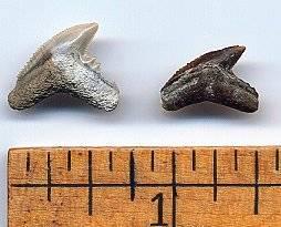 Fossil Extinct Tiger Shark Teeth