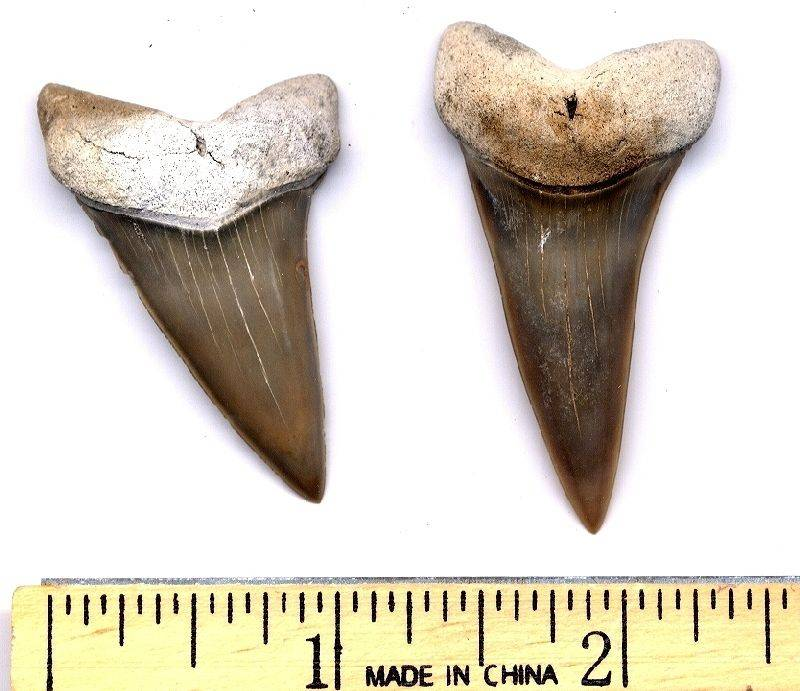 Here are two C. hastalis [narrow form] teeth from North Carolina.