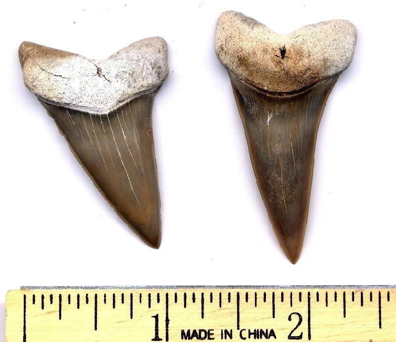 fossil mako teeth