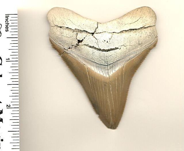 This is the 3 inch slant chubutensis fossil shark tooth.