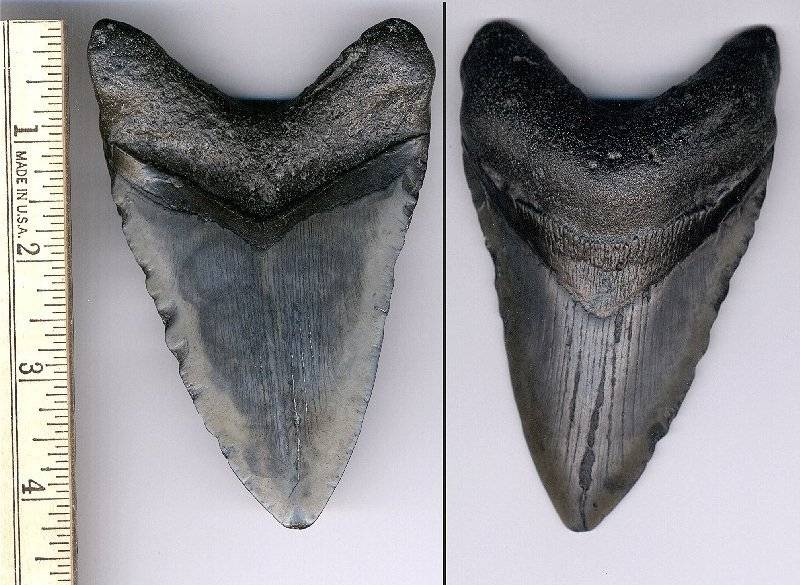 This is a decent sized Upper tooth. However the serrations are chipped off. It has the look of a reworked fossil.