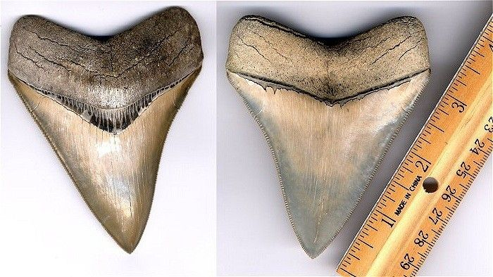 Megalodon shark tooth from North Carolina