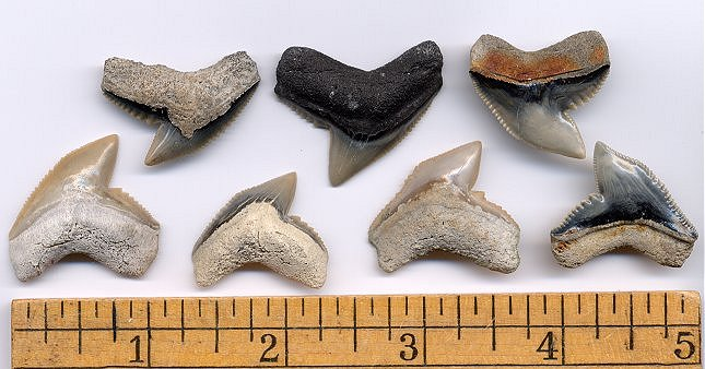 Fossil Tiger Shark Teeth
