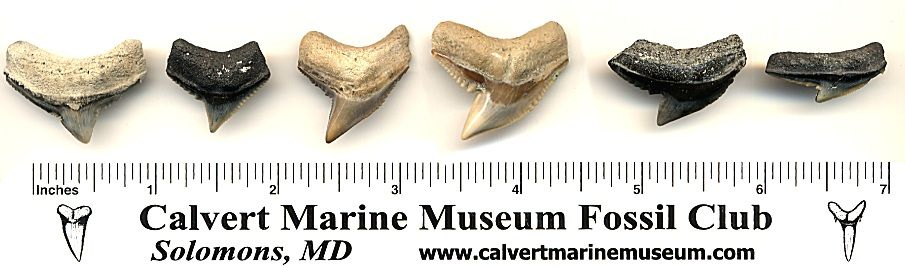 Tiger Shark Tooth Jaw Positions