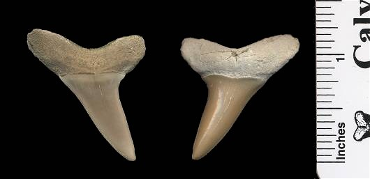 Shortfin Mako Shark Tooth - Isurus oxyrinchus - from Aurora, NC
