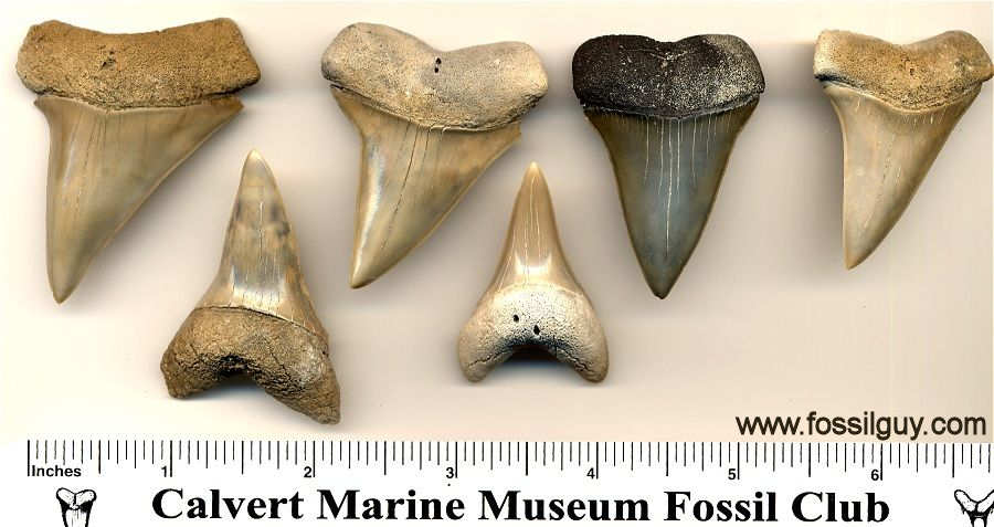 Here are some additional cosmopolitodus hastalis  upper and lower fossil shark teeth from Aurora, NC in the Yorktown Formation.