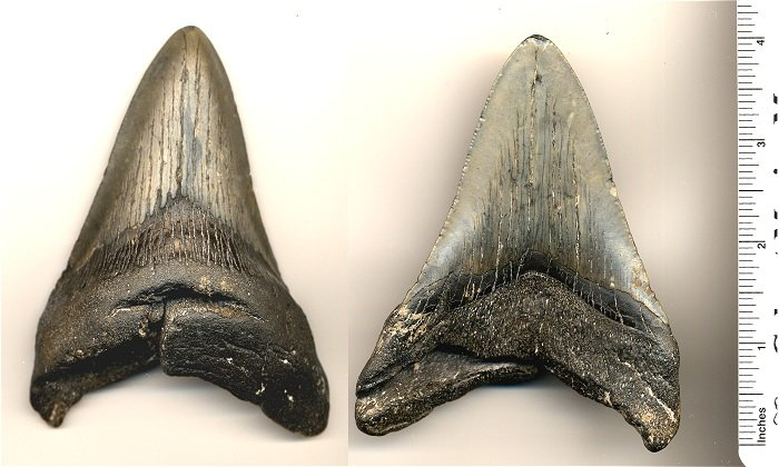 This is the 4 5/16 inch megalodon shark tooth I found.  The serrations are worn and there's a chip out of the root, but it still looks descent.