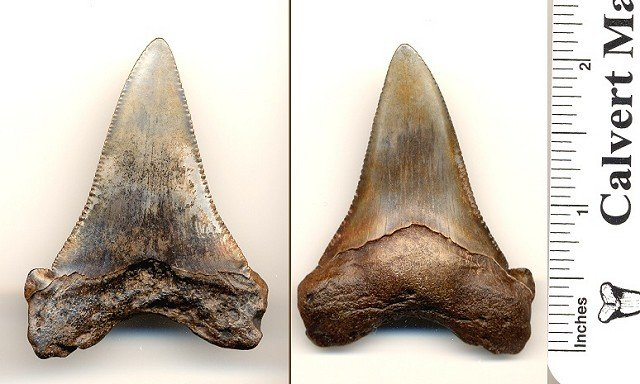 Carhcarocles angustidens shark tooth from South Carolina