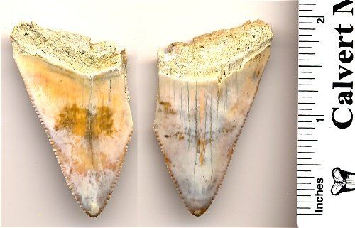 Extinct Giant white Fossil Shark Tooth in Matrix - C. xiphodon - South Carolina