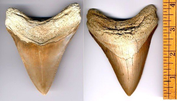 Fossilguy com: Megalodon Shark Facts and Information: Size