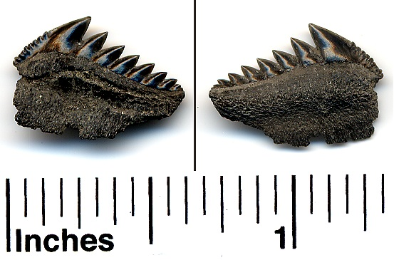 Hexanchus collisonae cow shark tooth - Eocene