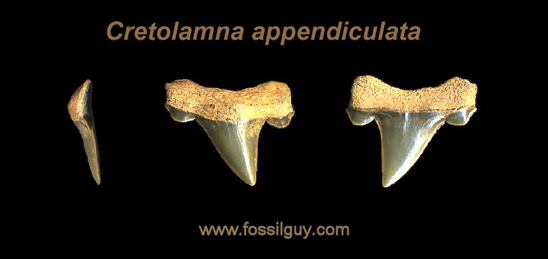 fossil cretolamna shark tooth - new Jersey