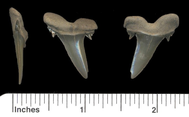 fossil goblin shark tooth - lateral