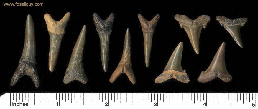 Fossil Goblin Shark Teeth from the Big Brook Fossil Hunting Location