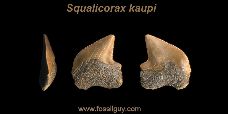 fossil crow shark tooth - squalicorax kaupi