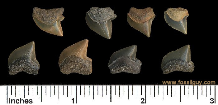 fossil crow shark teeth - squalicorax kaupi