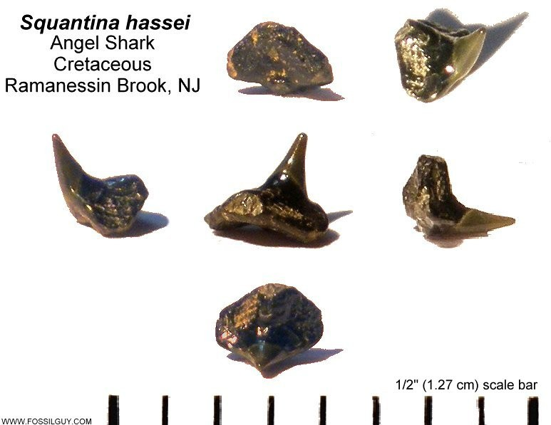 fossil shark tooth - angel shark - squantina hassei