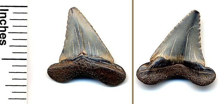 This is the Paleocarcharodon orientalis, or Pygmy White Shark.  The serrations are very worn, and the cusps are  probably worn off.