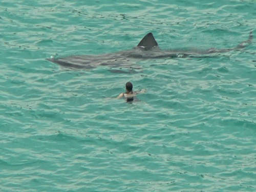 Fossilguy Com Is The Megalodon Shark Alive Today No And Here S Why