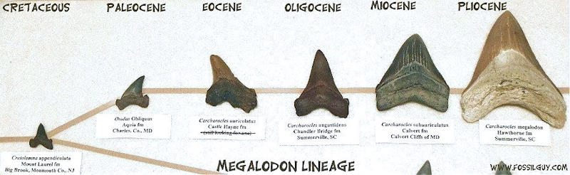 Fossilguy com: Is The Megalodon Shark Alive Today? NO, and