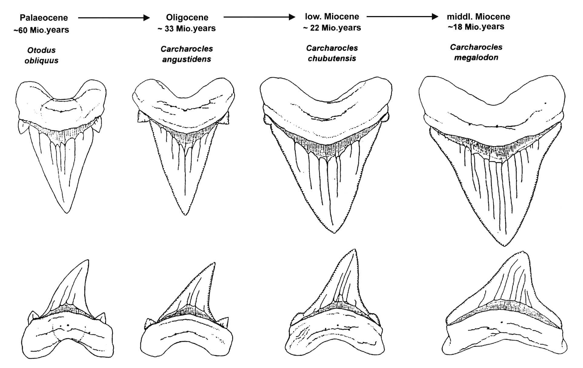 megalodon shark evolution - rersearch and science