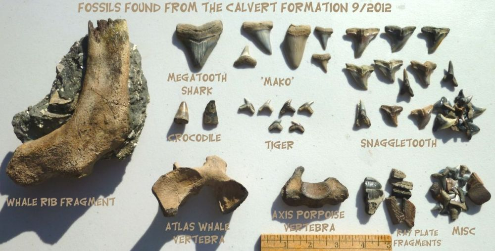 Fall Equinox Calvert Cliffs Fossil Trip; September 2012 ...