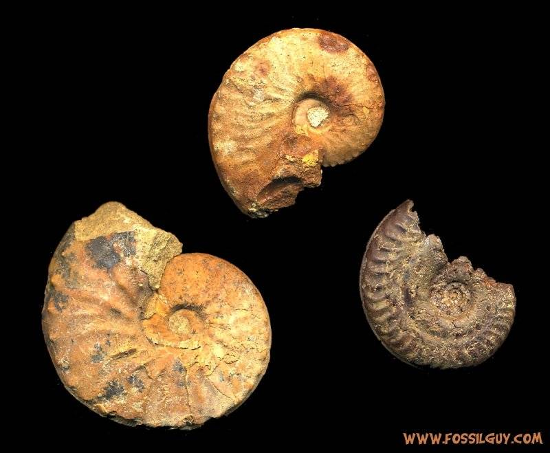 Ammointe Fossils