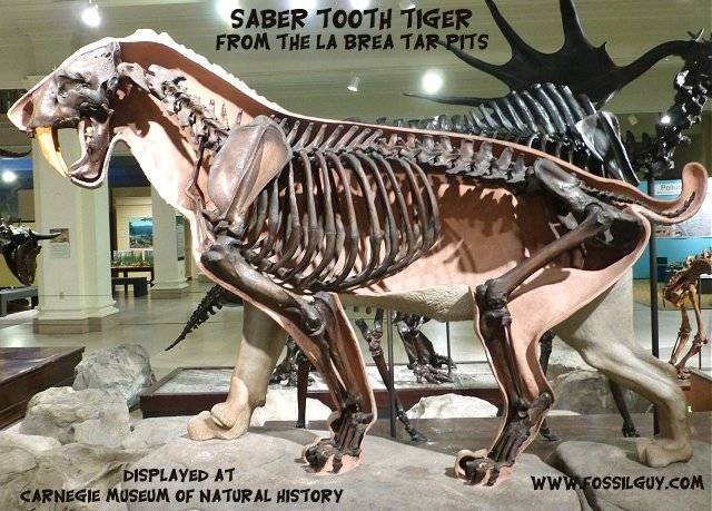 fossil saber tooth cat from the la brea tar pits in Los Angeles. - It is preserved via original remains.